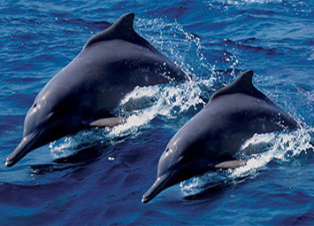 Dolphin Watching Tour Khasab
